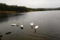 лебеді в Трускавці