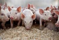 чума свиней