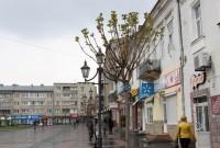 У Дрогобичі на площі можлива заміна деяких дерев