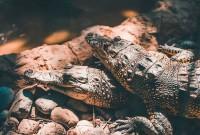 м'ясо крокодилів