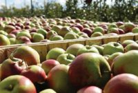 ціни на яблука